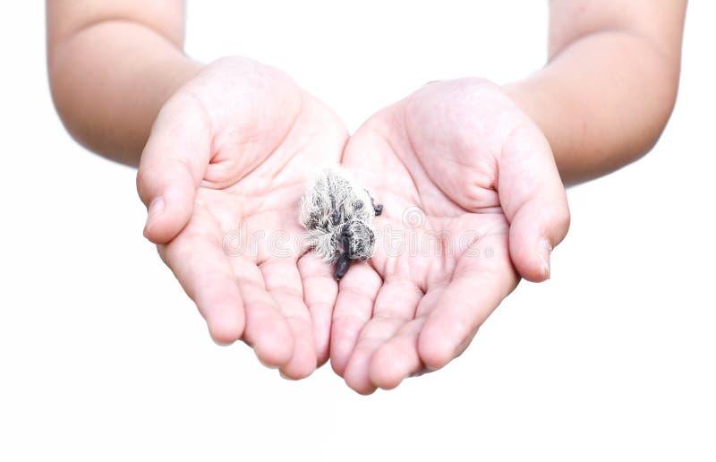 Vogelbaby in einem Kind ist Hand lizenzfreies stockfoto