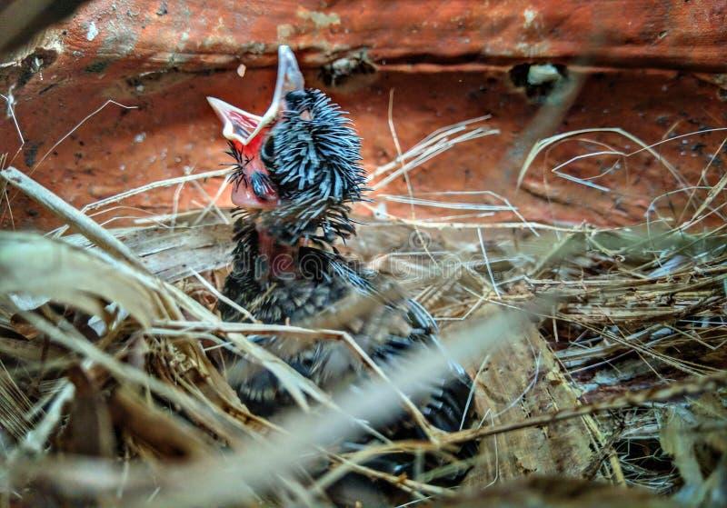 Vogelbabys auf einem Nest stockfotos