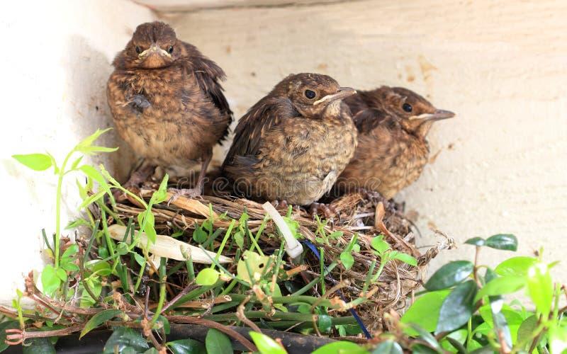 Vogelbabys Bereit, Vom Nest Zu Fliegen Stockbild - Bild ...
