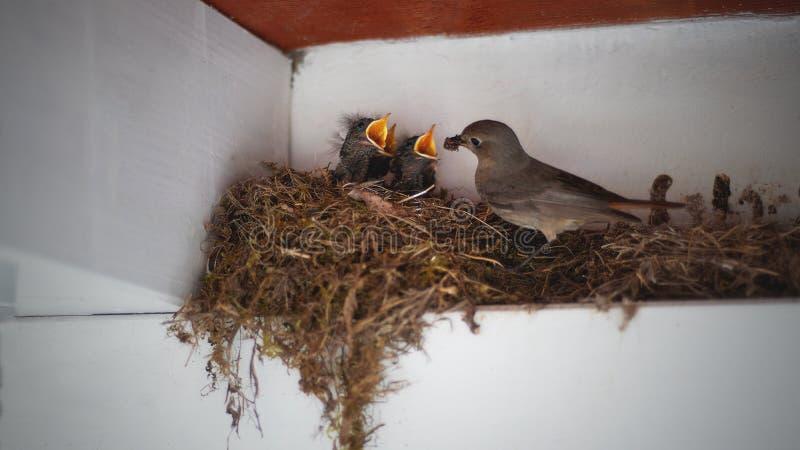 Vogelbabys im Nest, einziehender Muttervogel, Tierphotographie stockfotos