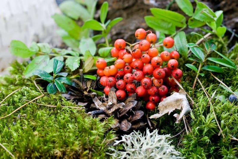 Vogelbeeren wachsen im Wald stockbilder