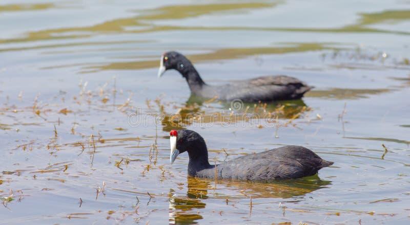 Vogelbeobachtung nahe See Hora, Äthiopien lizenzfreies stockfoto