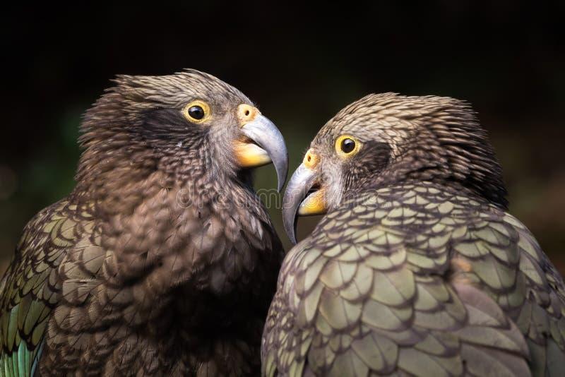 Vogelbild der wild lebenden Tiere des gebürtigen Vogels, Kea, in Neuseeland stockbilder