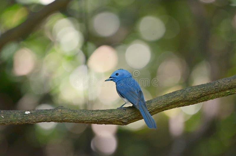 Vogelblaufarbe lizenzfreie stockfotos