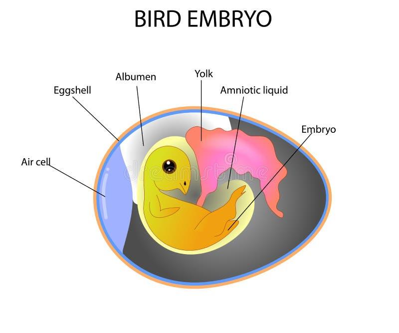 Vogelembryo stock illustratie
