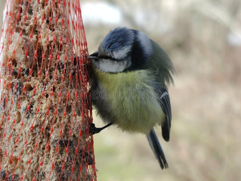 Download Vogelessen stockfoto. Bild von hungrig, führen, gelb, finnland - 37676