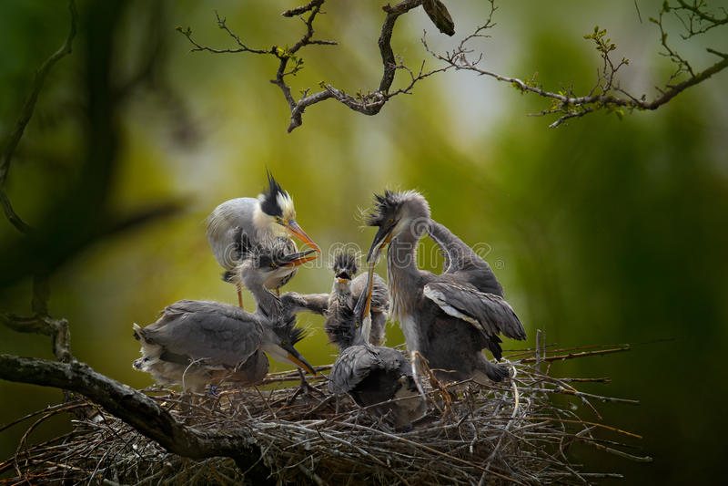 Vogelfamilie in de nest het Voeden scène tijdens het nestelen tijd Grijze reiger met jongelui in het nestvoedsel in het nest met  royalty-vrije stock afbeeldingen