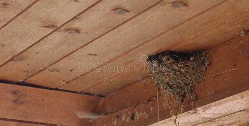 Vogelfamilie die bij nest kleine vogels, pasgeborenen voeden Slik het beschermen van pasgeboren vogels binnen schuur stock fotografie