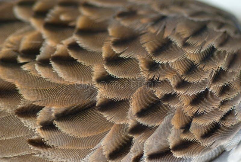 Vogelflügelfeder-Beschaffenheitshintergrund stockbild