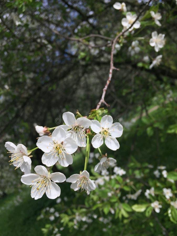 Vogelkirschniederlassung blüht Beerenbetriebsbaum der weißen Blumen stockfotografie
