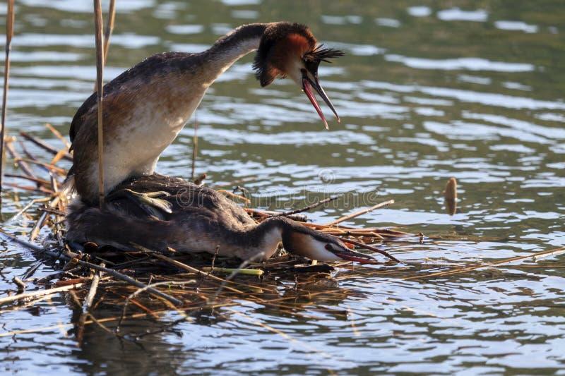Vogelkopplung lizenzfreie stockfotos
