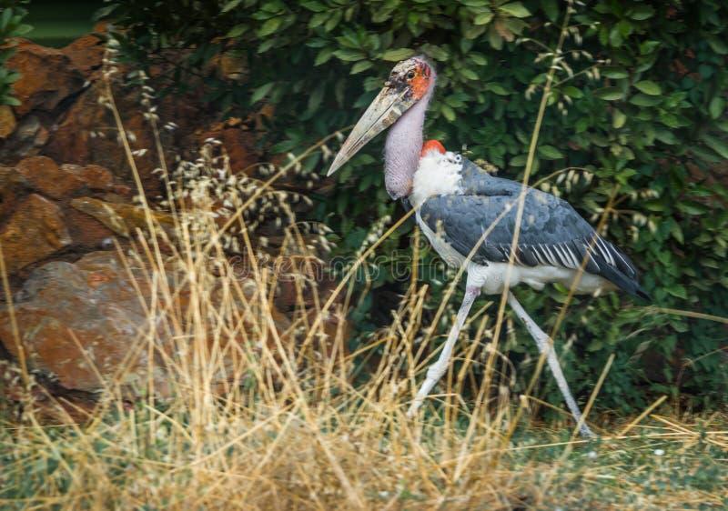 Vogelmaraboe die in het park, Griekenland lopen royalty-vrije stock fotografie
