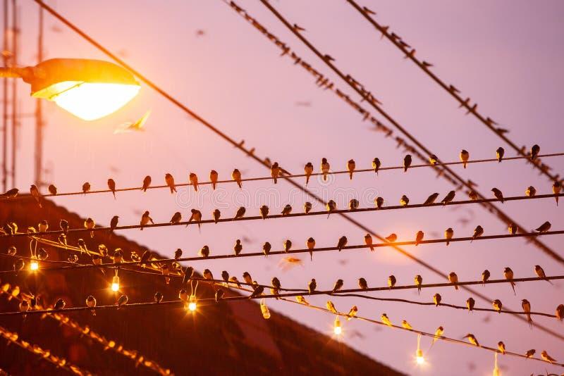 Vogelmigratie De troep van boerenzwaluw op draden en het vliegen in rai royalty-vrije stock afbeelding