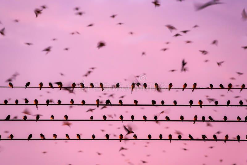 Vogelmigration, Menge der Scheunenschwalbe auf Dr?hten und Fliegen im Sonnenunterganghimmel Betong-Stadt, Yala, S?d-Thailand Stun lizenzfreies stockbild