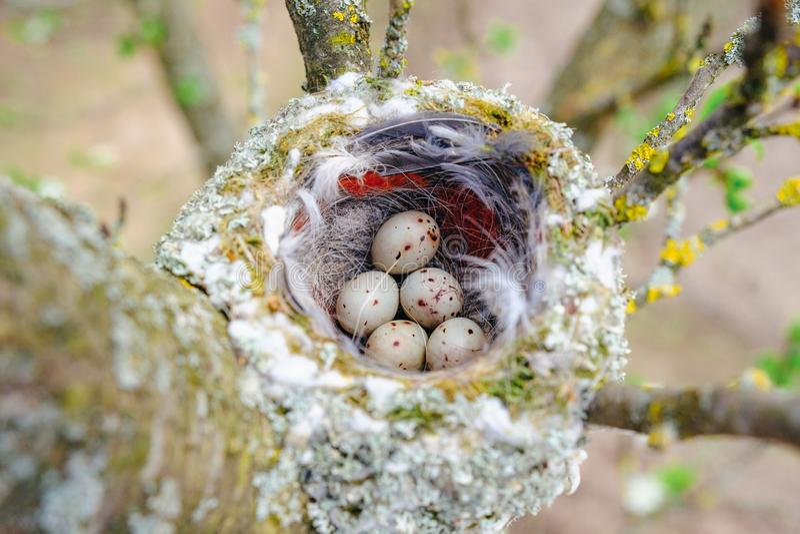 Vogelnest auf Baumast mit fünf bunten Eiern nach innen lizenzfreie stockfotos