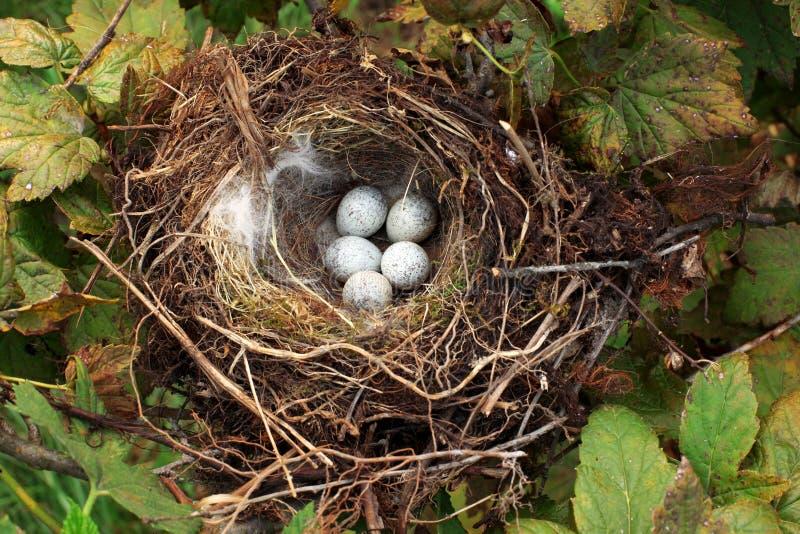 Vogelnest mit Eiern stockfotos