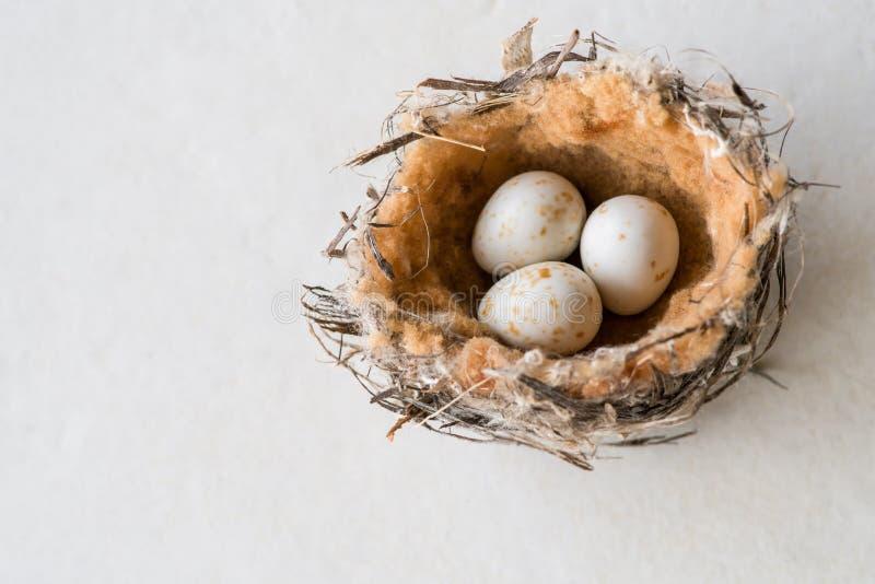Vogelnest mit Eiern stockfoto