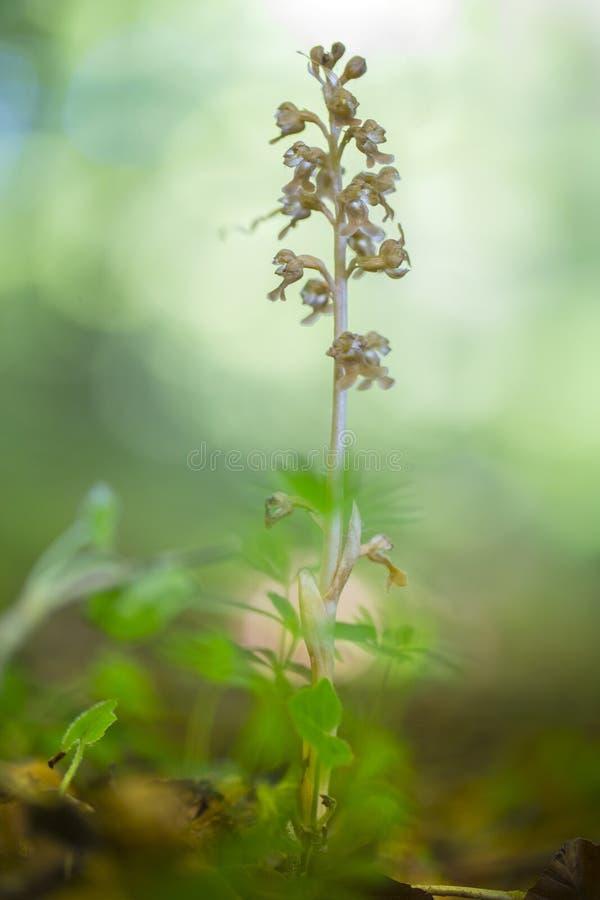Vogelnestje, pájaros jerarquiza la orquídea, nidus-avis de Neottia fotos de archivo libres de regalías