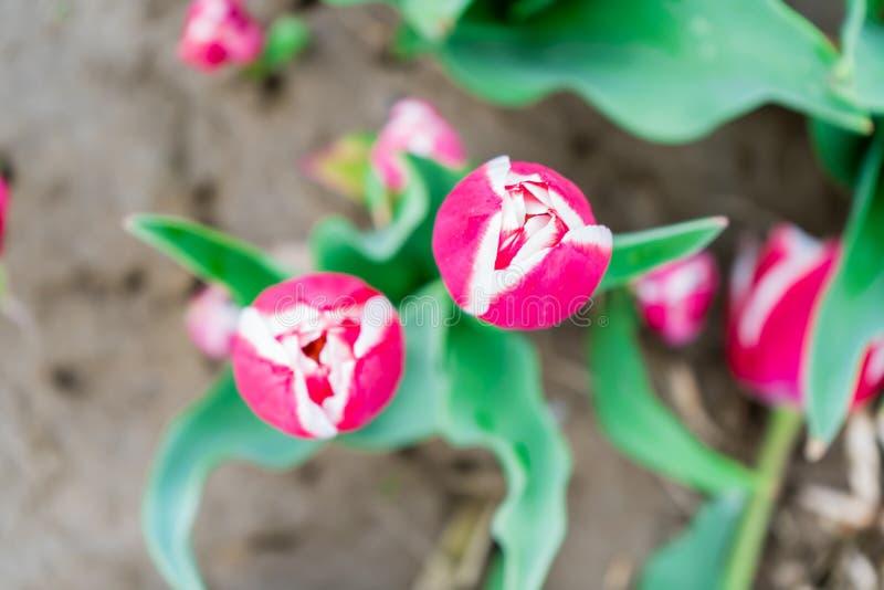 Vogelperspectief die van een roze en witte tulp, op een gebied van het bloemlandbouwbedrijf neer kijken Heldergroene bladeren, en stock fotografie