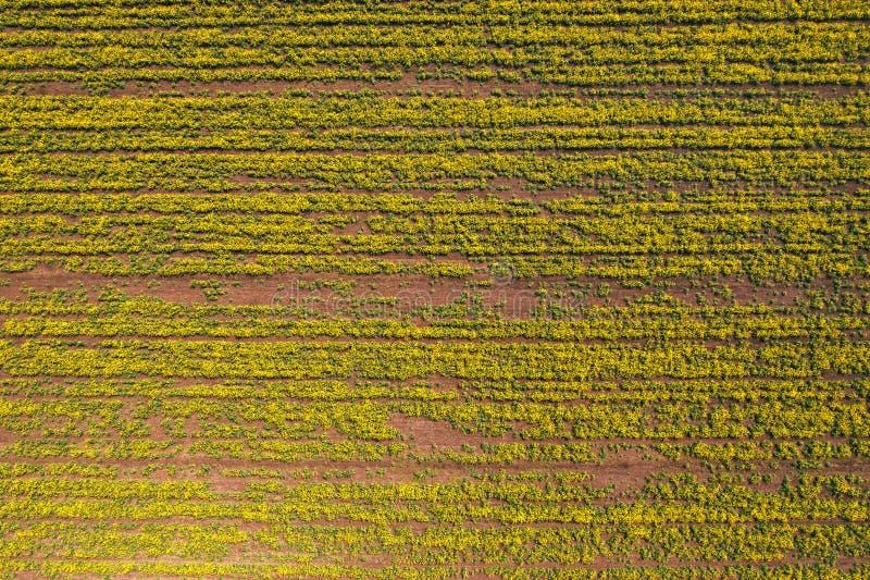 Vogelperspektive des Canolarapssamenfeldes in schlechter Zustand stockbild