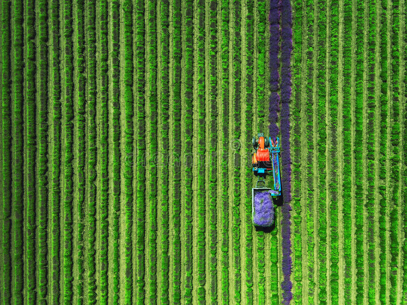 Vogelperspektive des Traktors Feld des Lavendels erntend lizenzfreie stockfotografie