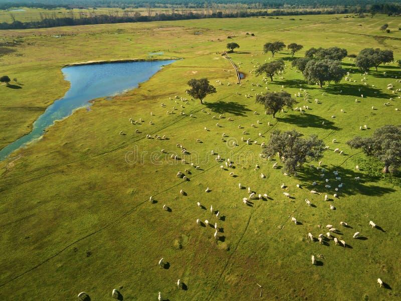 Vogelperspektive eines gr?nen Feldes mit einem See, Flussinseleichen und einer gro?en Schafherde lizenzfreie stockfotografie