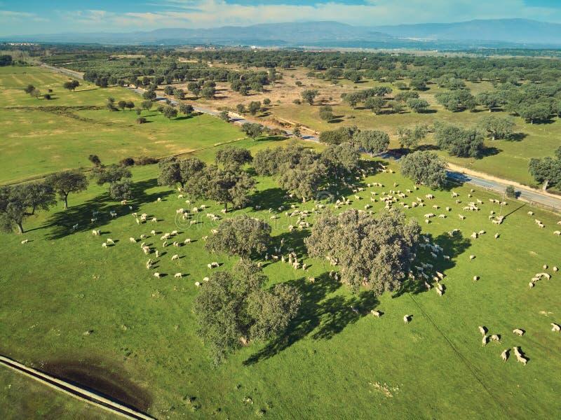 Vogelperspektive eines gr?nen Feldes mit einem See, Flussinseleichen und einer gro?en Schafherde stockbild