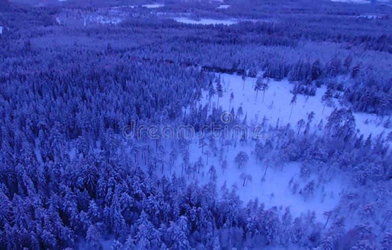 Vogelperspektive oder Draufsicht des Winterwaldes, Kiefer mit dem Schnee bedeckt Weiße Schneeflocken auf einem blauen Hintergrund stockfotografie