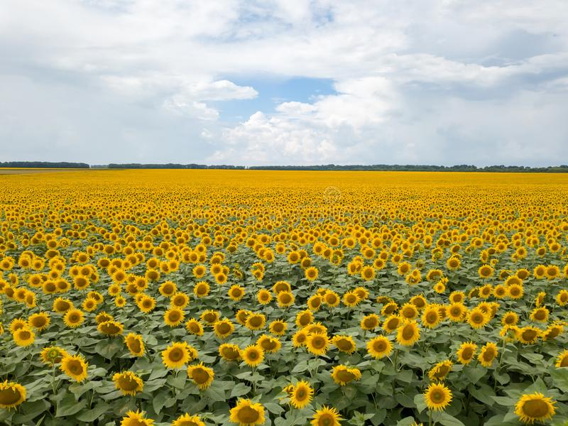 Vogelperspektive vom Brummen zu einem wunderbaren Feld von Sonnenblumen und von bewölktem Himmel bis zum Sommerzeit bei Sonnenunt stockbild