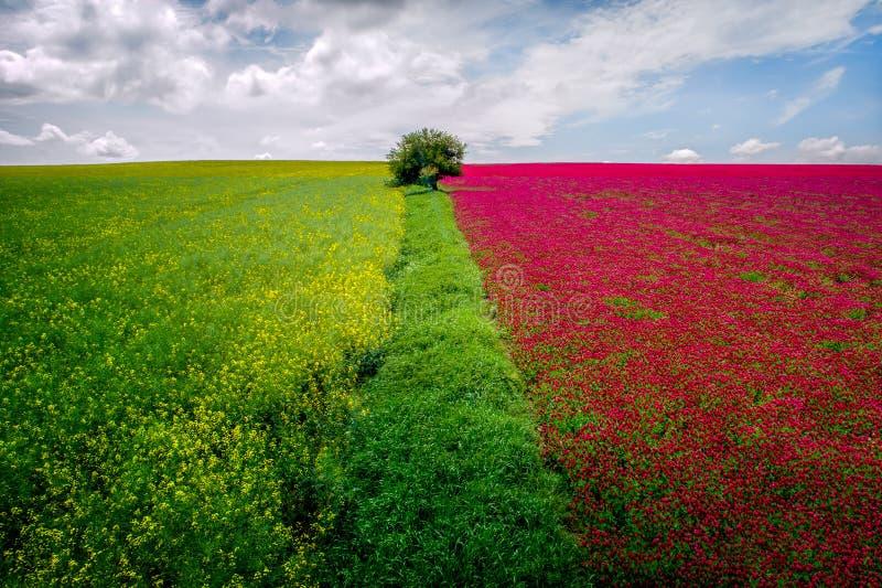 Vogelperspektive von Rapssamenfeldern und von roten Blumen erntet auf Sommerzeit lizenzfreies stockfoto