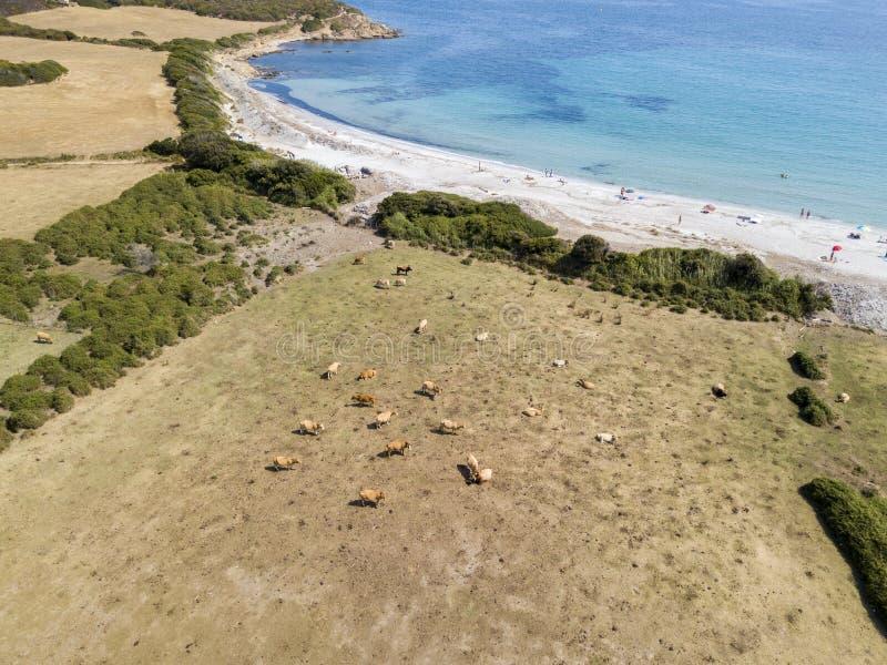 Vogelperspektive von Tamarone-Strand, Plage de Tamarone, schüchtert das Weiden lassen auf einer grasartigen Wiese nahe dem Meer e stockfotos