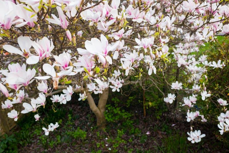 Vogelperspektive Von Weißen Und Rosa Magnolien-Blumen Stockbild ...