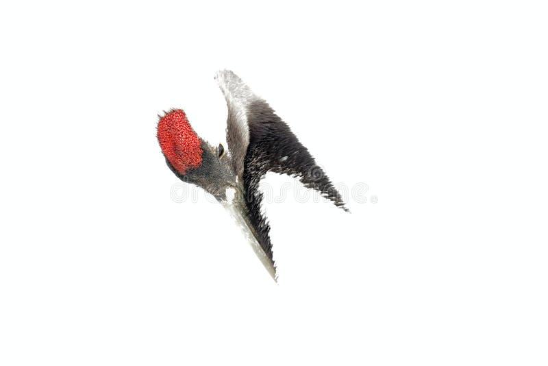 Vogelporträt, Kunstporträt Mandschurenkranich, Detailnahaufnahmekopfporträt mit Weiß und hinteres Gefieder, Winterszene, Hokkaido stockbild