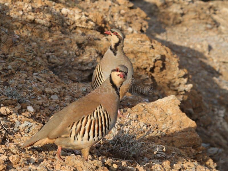 Vogelrebhuhn-Henne Alectoris chukar stockfoto