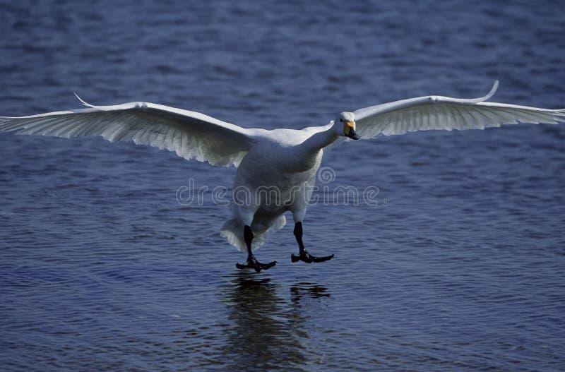 Download Vogels stock foto. Afbeelding bestaande uit swan, vlieg - 282298