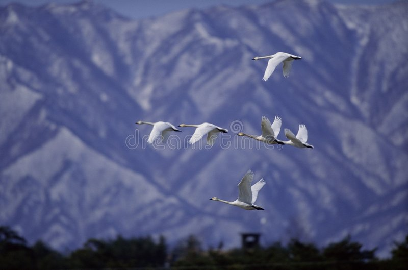 Download Vogels stock foto. Afbeelding bestaande uit albatross, vlucht - 282304
