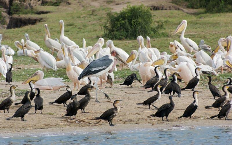Vogels bij de Koningin Elizabeth National Park in Oeganda stock foto's