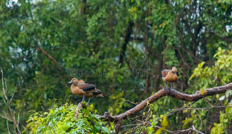 Vogels die rust op Boom nemen stock afbeelding