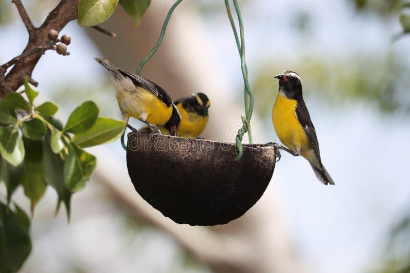 3 vogels die uit op een voedselkom hangen stock afbeeldingen