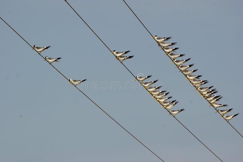 Vogels in elektrische snaren worden neergestreken die stock fotografie