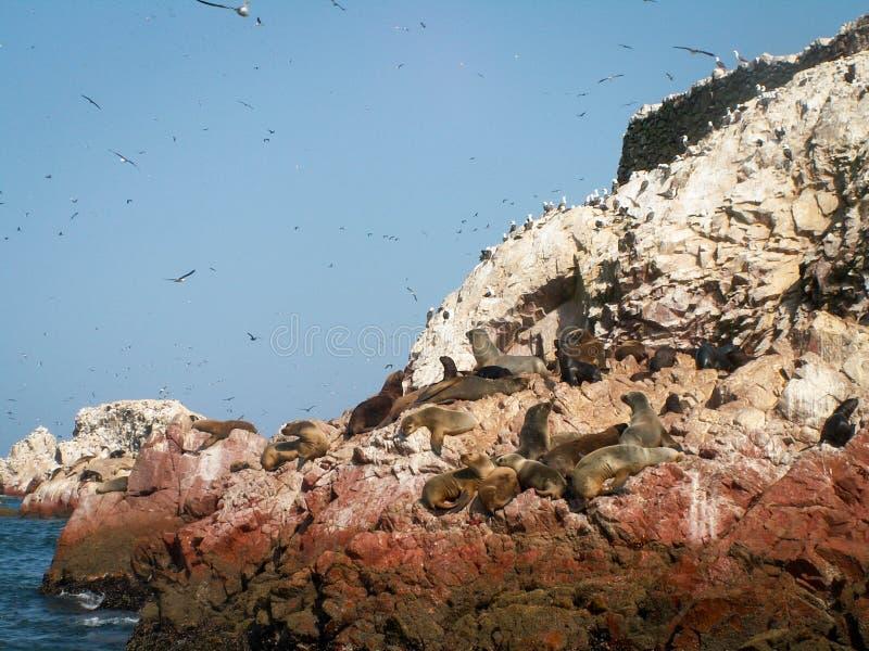Vogels en Zeeleeuwen Ballestas royalty-vrije stock afbeeldingen