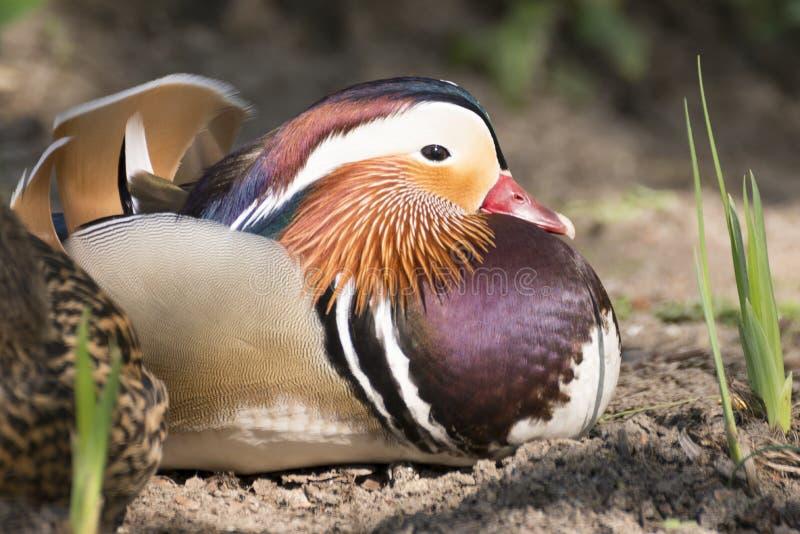 Vogels: Mandarin Watervogels Mooie en kleurrijke Watervogels stock afbeelding