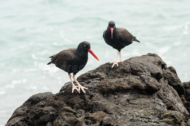 Vogels -- Oester Negruzco -- op de rotsen bij de rand van het overzees royalty-vrije stock foto