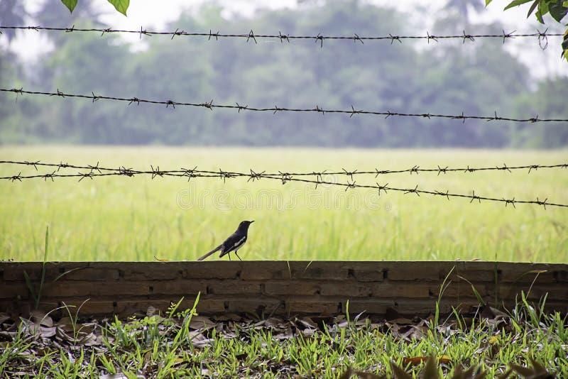 Vogels op de bakstenen muur met prikkeldraad Achtergrond onscherp padieveldgebied royalty-vrije stock fotografie
