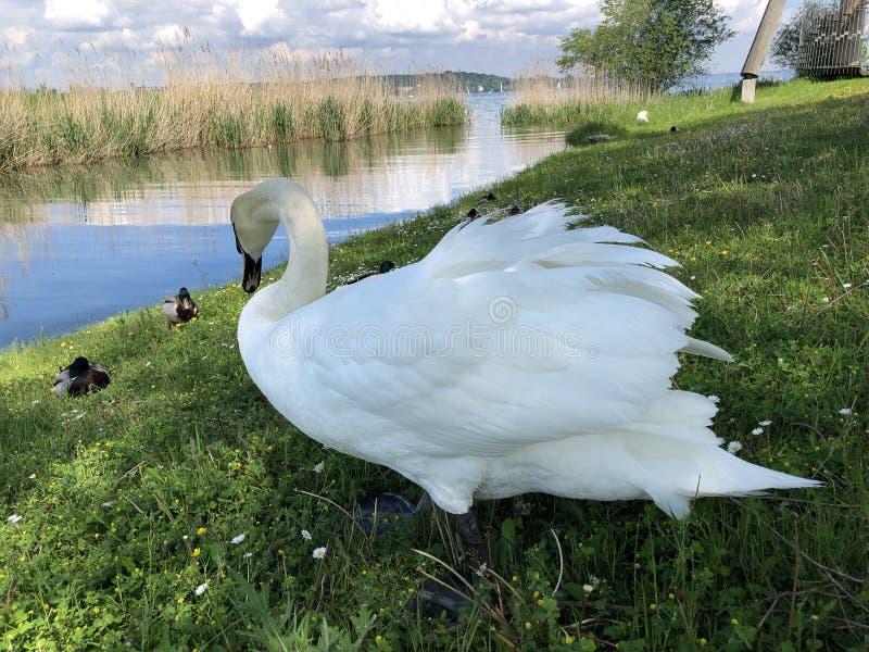 Vogels op het Meer van Konstanz in Kreuzlingen of Matrijs Voegel Oder Vogel am Bodensee royalty-vrije stock foto