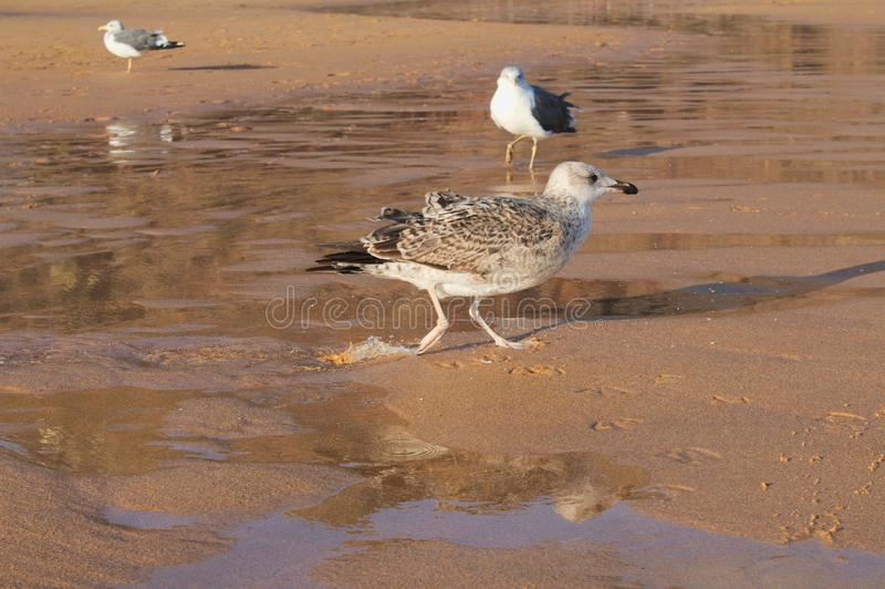 Vogels op het strand stock fotografie