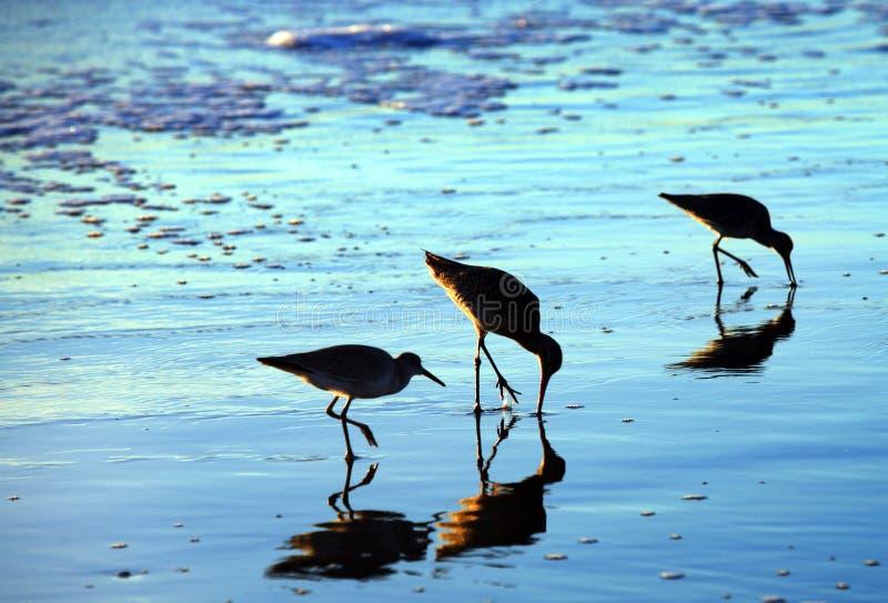 Vogels op het strand royalty-vrije stock afbeelding