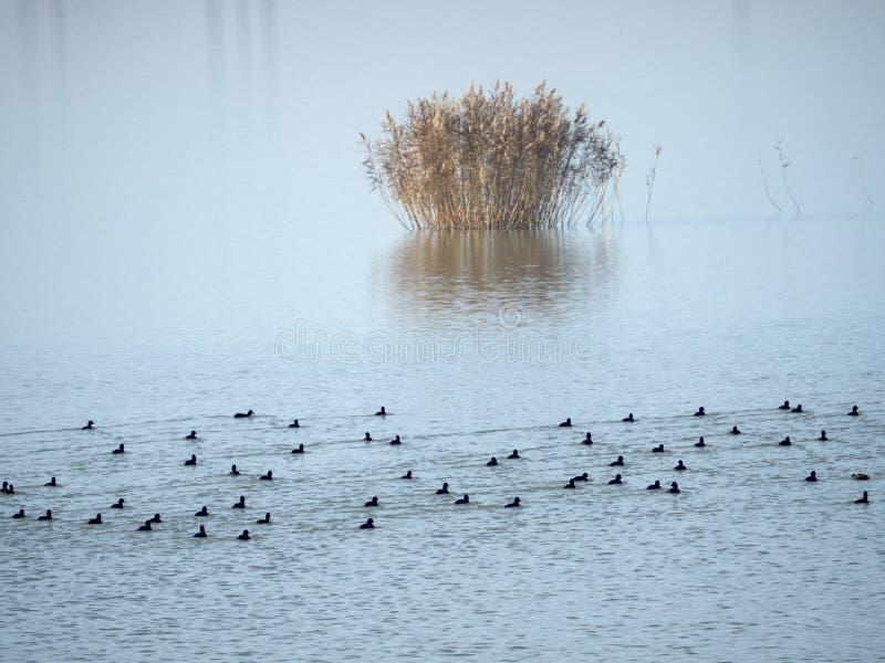 Vogels op Mihailesti-meer, dichtbij Boekarest, Roemenië stock afbeeldingen
