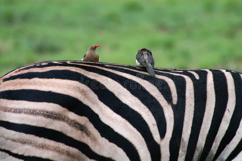 Vogels Op Zebra Stock Afbeelding Afbeelding Bestaande Uit