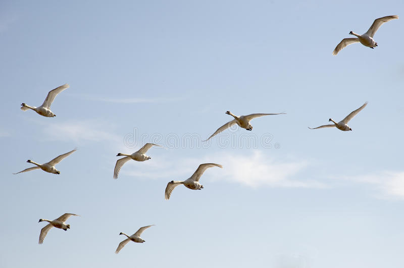 Vogels tijdens de vlucht stock afbeelding